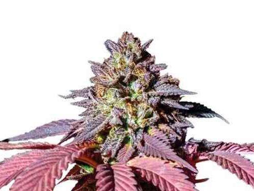 Purple Queen Cannaclone (11)