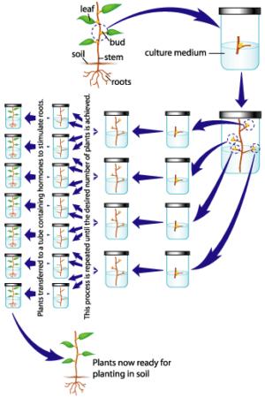 canna clone tissue culture (1)